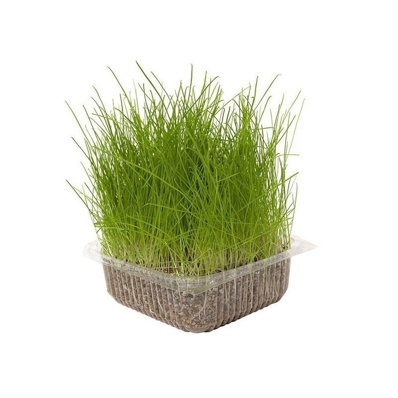 Hierba Natural para Gatos 100 Gr Nayeco - Amascotados